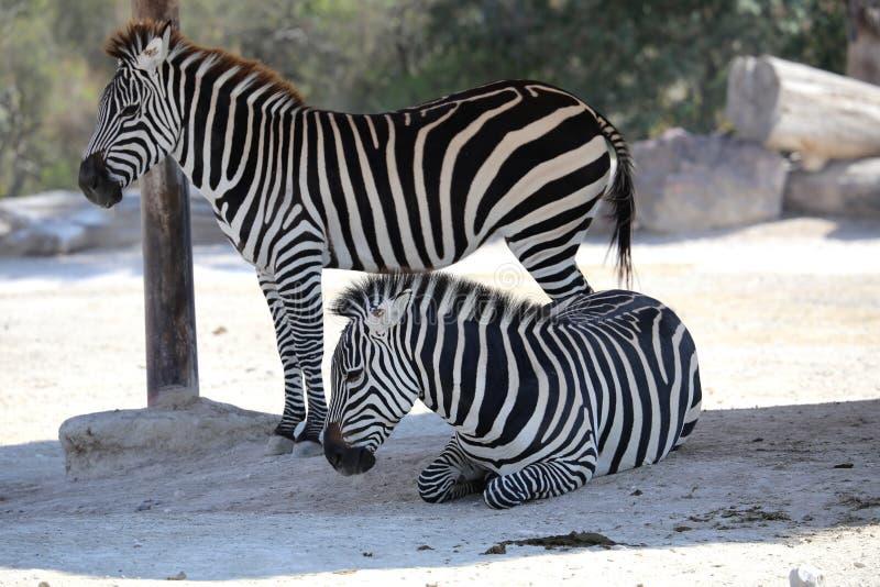 Two zebras in the safari park stock image