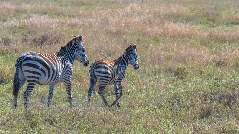 Two zebras in the savannah stock photos