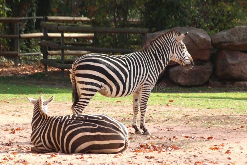 Two zebras standing in zoo in nuremberg stock images
