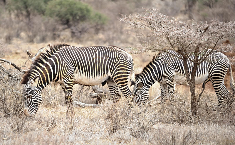 Two zebras in the wild stock photography