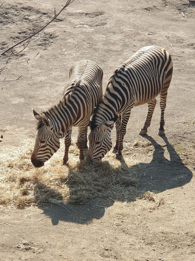 Two zebras in a zoo in the Netherlands royalty free stock photo