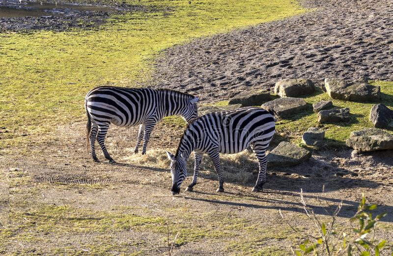 Two zebras in a zoo. Youg two Zebras in a Zoo royalty free stock photo