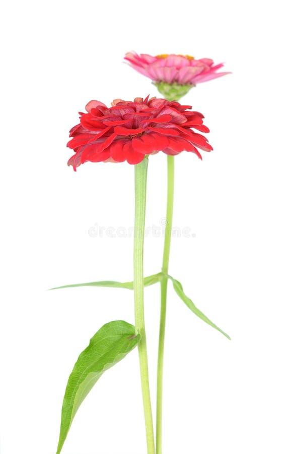 Two Zinnia Flowers stock photos