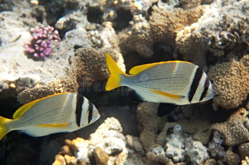 twobar seabream royaltyfri fotografi