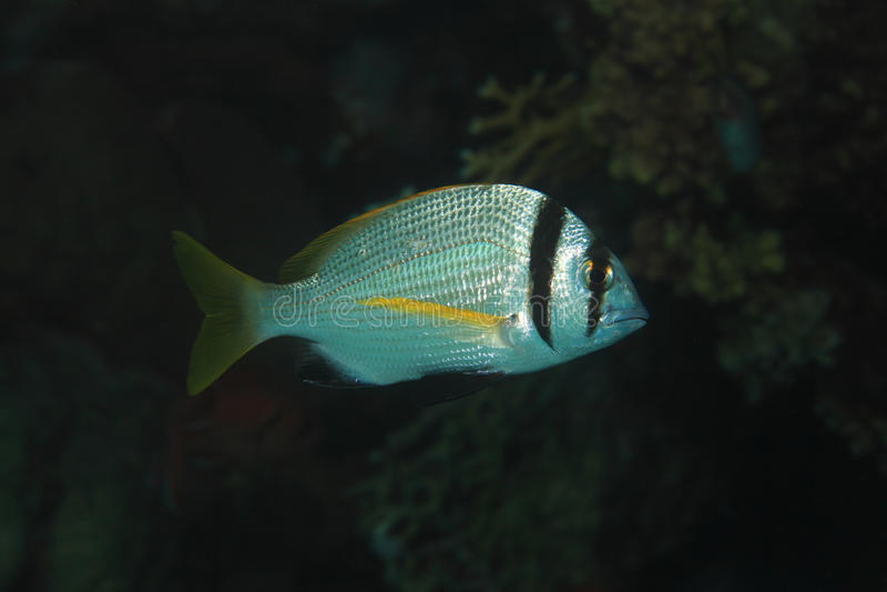 Twobar seabreamfisk royaltyfria bilder