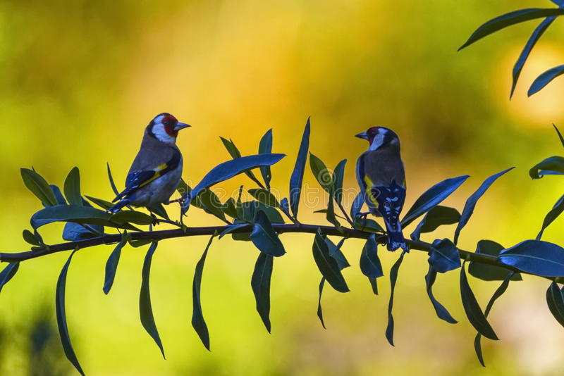 Twoe uropean goldfinch birds , carduelis carduelis. Two european goldfinch birds, carduelis carduelis, among branches in green background royalty free stock photo