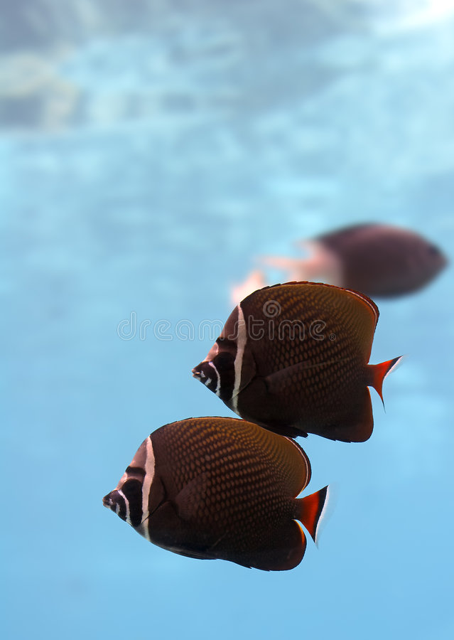 Twofish lizenzfreie stockfotografie