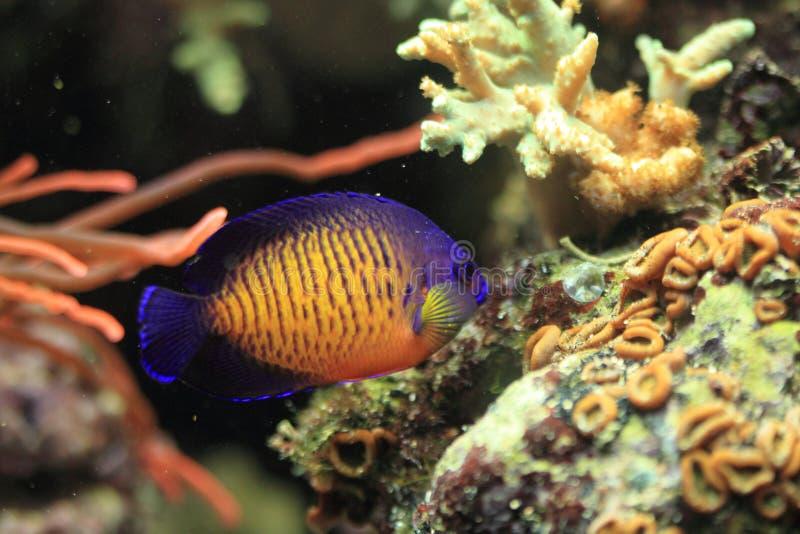Twospined angelfish στοκ φωτογραφίες με δικαίωμα ελεύθερης χρήσης