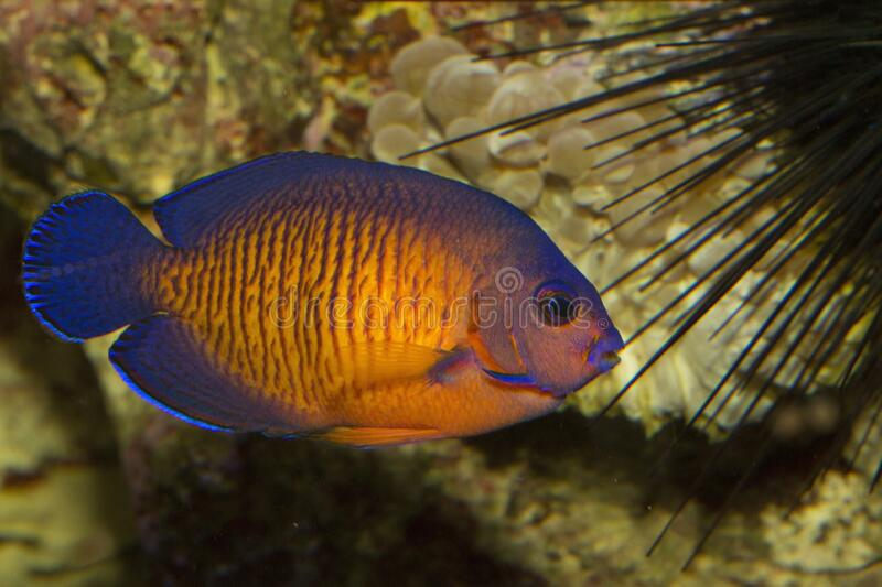 The twospined angelfish, dusky ang, elfish, or coral beauty Centropyge bispinosa. The twospined angelfish, dusky ang, elfish, or coral beauty Centropyge royalty free stock images