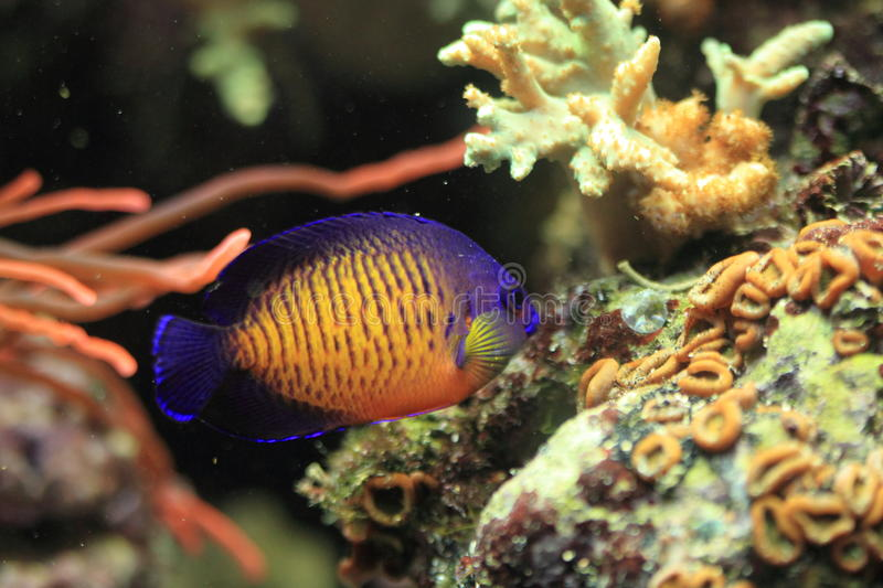 Twospined angelfish. Floating in water royalty free stock photos