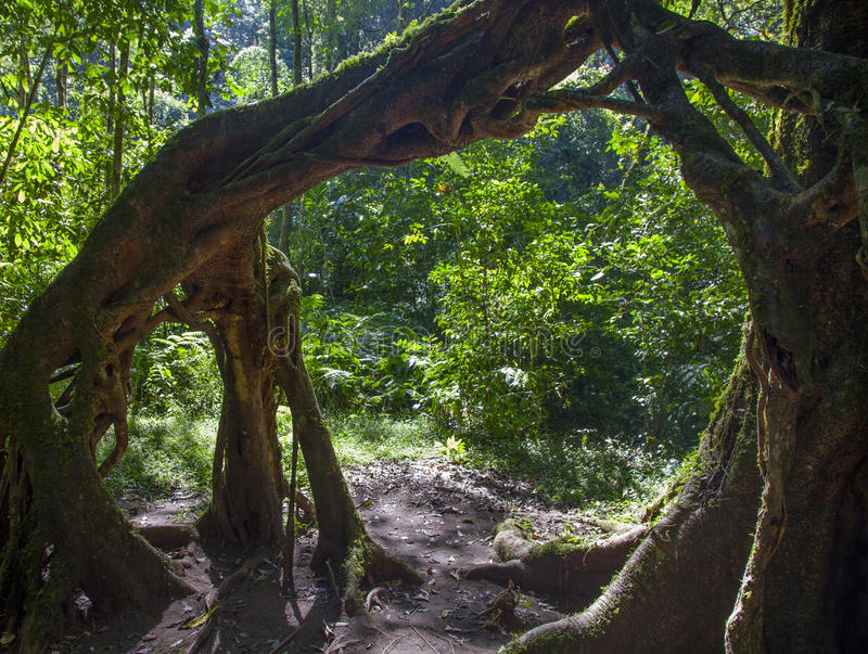Download Twsited Tree Trunks stock image. Image of tree, bedugul - 39508379
