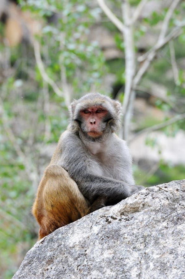 Tybetańczyk małpa pojedyncza obraz royalty free