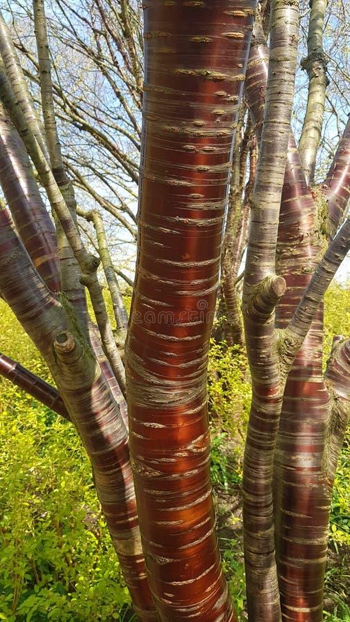 Tybetańska Czereśniowa drzewna barkentyna fotografia stock