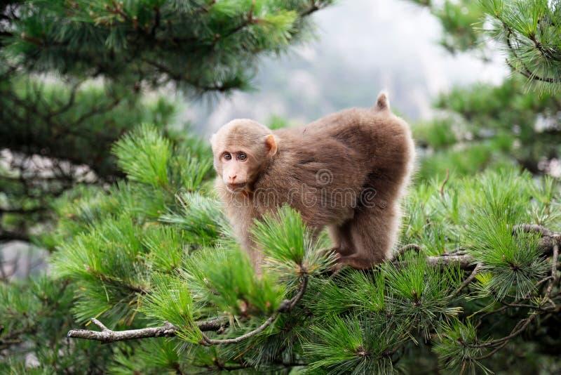 Tybetańska Macaca małpa zdjęcia royalty free