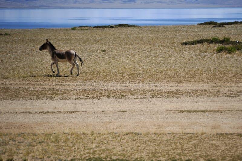 Tybetański dziki osioł i święty jezioro fotografia royalty free