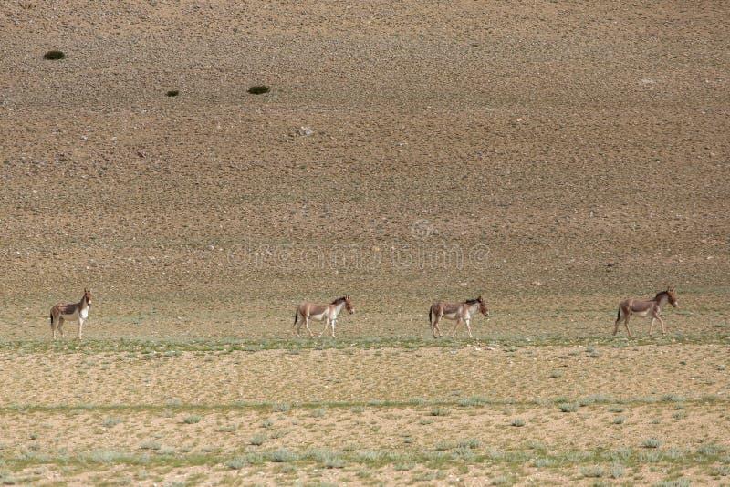 Tybetański Dziki osioł lub Kyang Equus Kiang na Changthang plateau w Ladakh obrazy royalty free