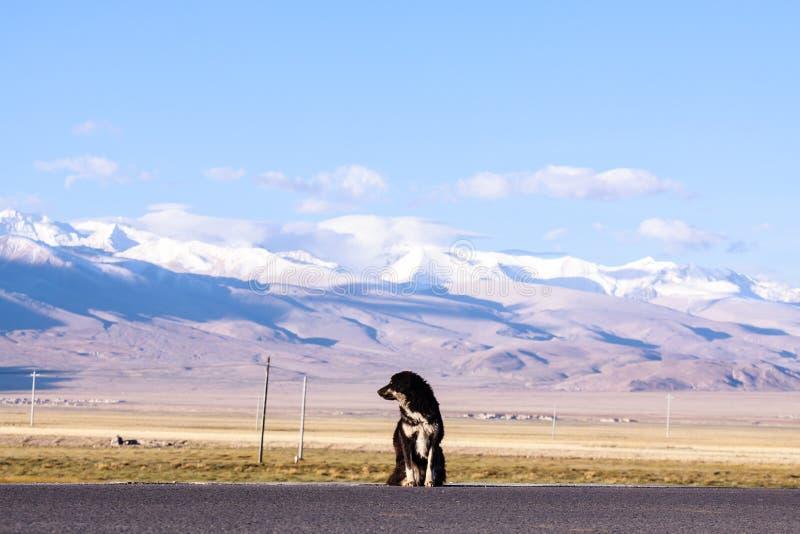 Tybetański mastif zdjęcia stock