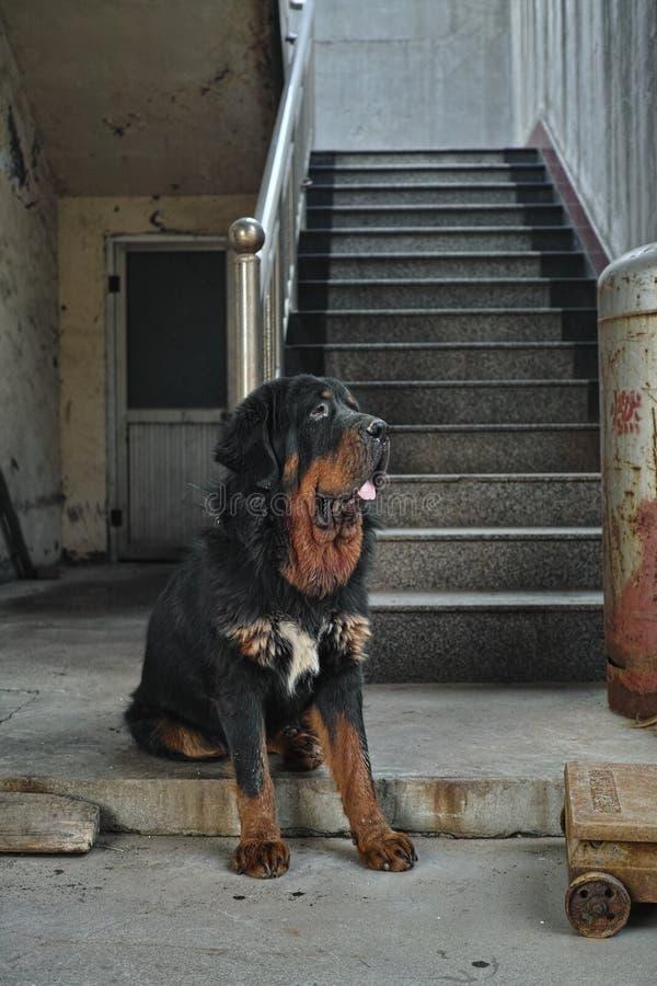 Tybetański mastif w Chiny obraz royalty free