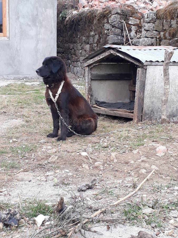 tybetańskiej mastifa obraz stock