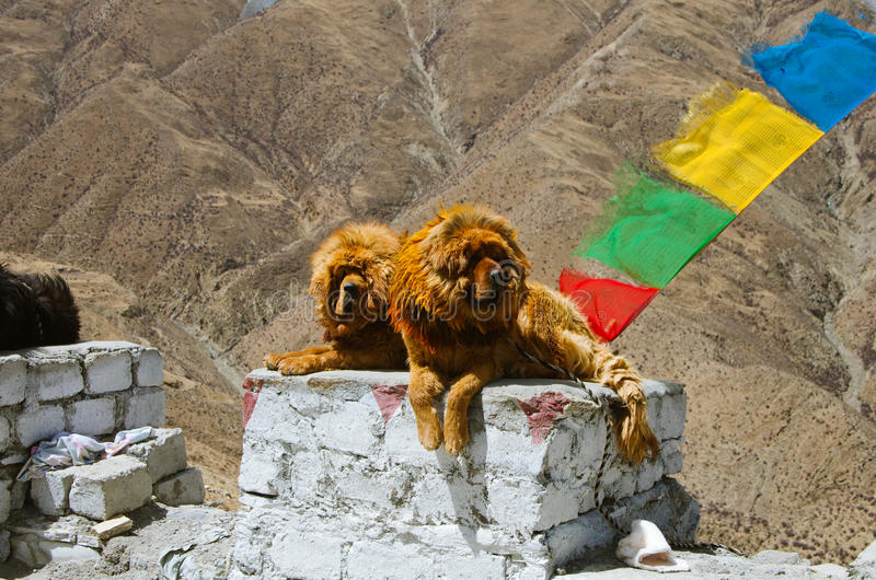 tybetańskiej mastifa fotografia stock
