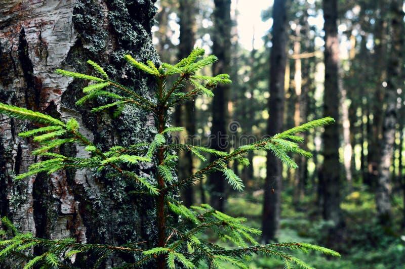 Tycka om skogsikten G? i skogen arkivfoton