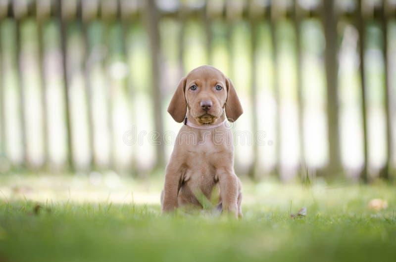 5 tygodni starych szczeniaków vizsla ogara pies obraz stock