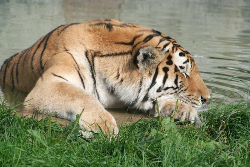 tygrys śpi obraz royalty free