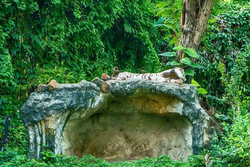 tygrys śpi white fotografia stock
