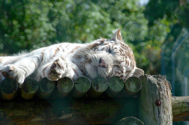 tygrys śpi white zdjęcie royalty free