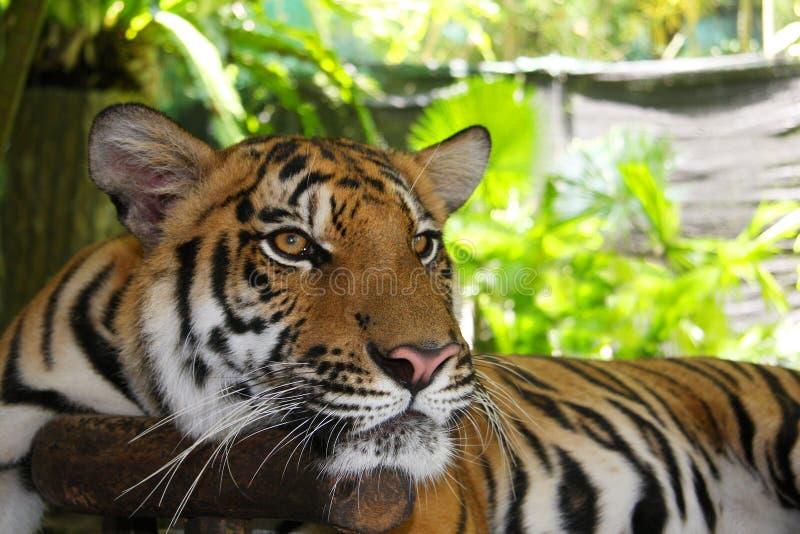 tygrys obraz stock