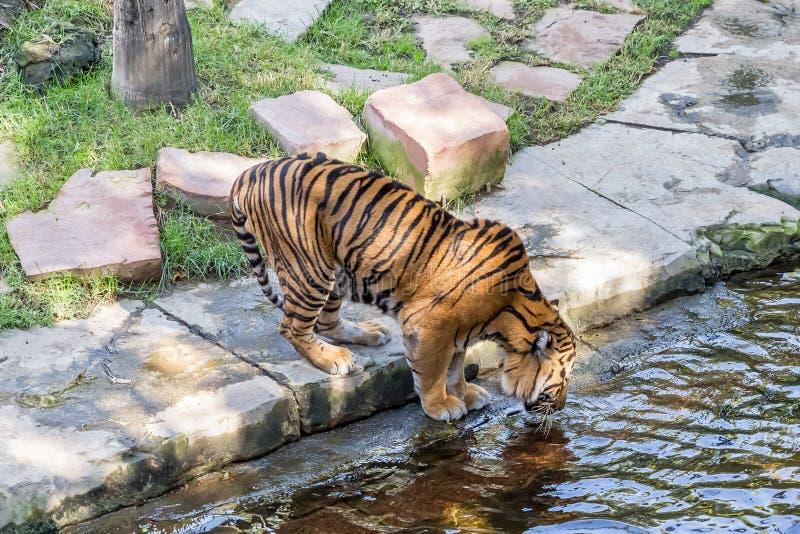 Tygrys fotografia royalty free