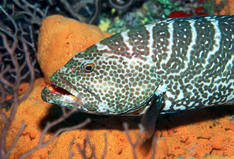 Download Tygrys grouper obraz stock. Obraz złożonej z kajman, żeglarz - 26365