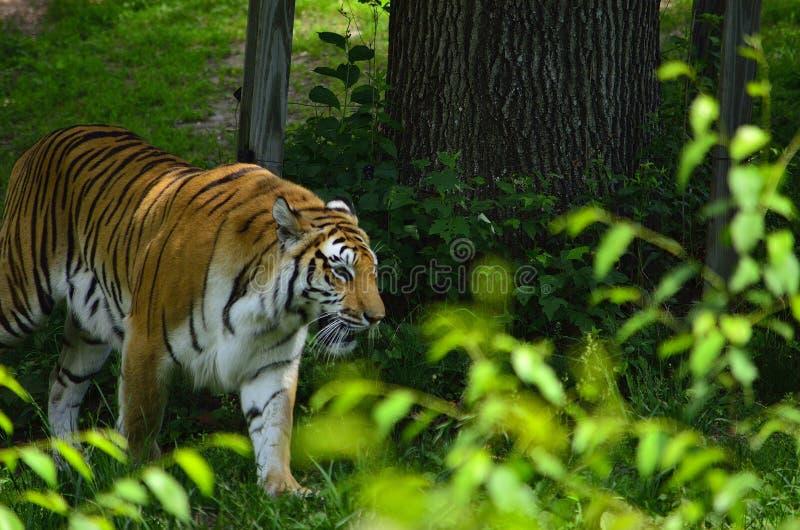 Tygrys gwiazda zdjęcia stock