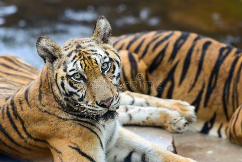 Tygrys jest w zoo tygrys jest srogim zwierzęciem fotografia royalty free