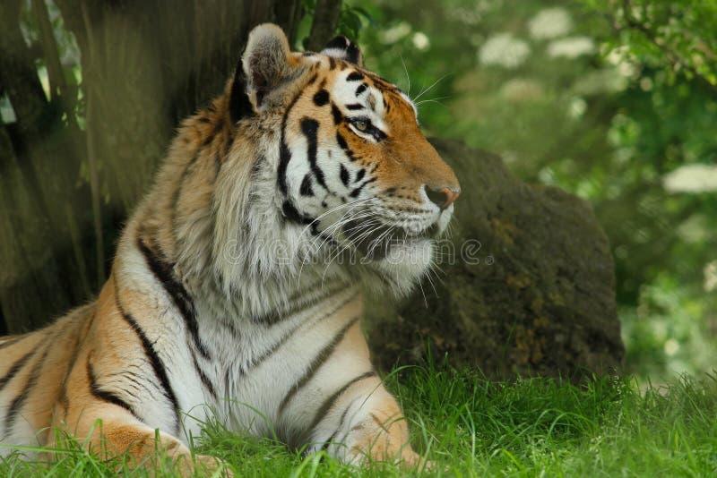 Tygrys kłaść puszek i patrzeje lewica obraz stock