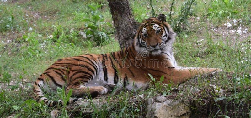 Tygrys kłama na trawie obrazy royalty free
