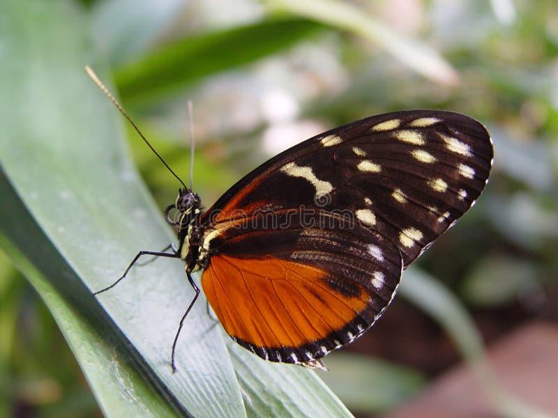 tygrys longwing motyla zdjęcie royalty free