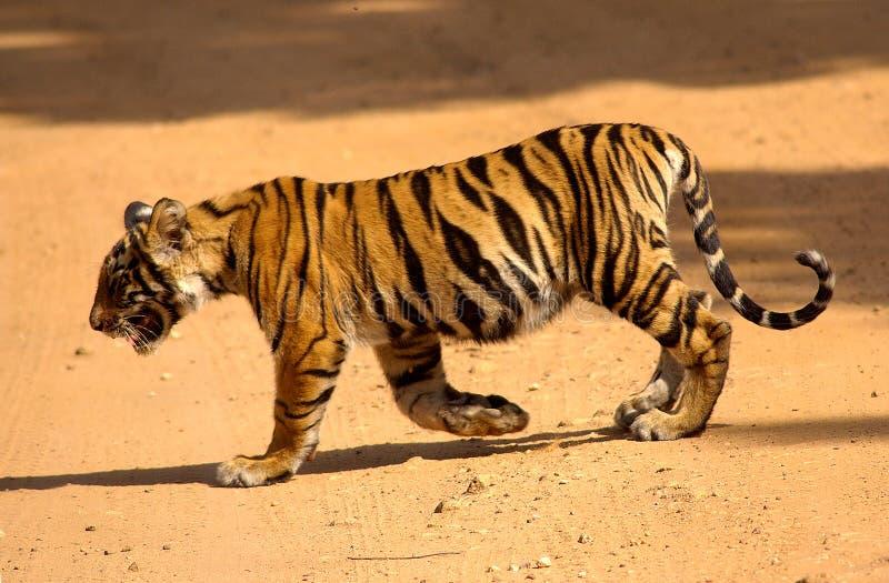 tygrys młode obraz stock