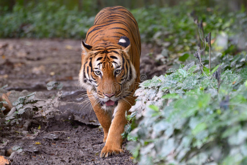 tygrys malayan zdjęcie royalty free