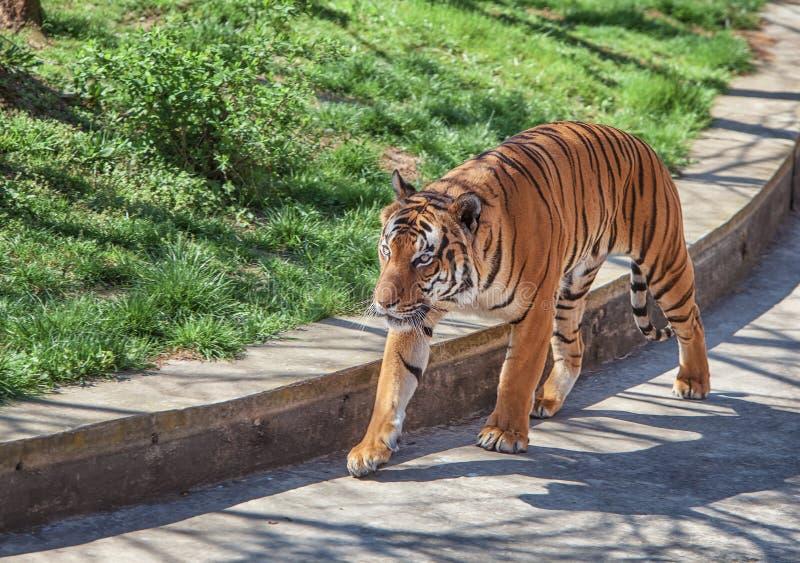 tygrys malayan zdjęcie stock