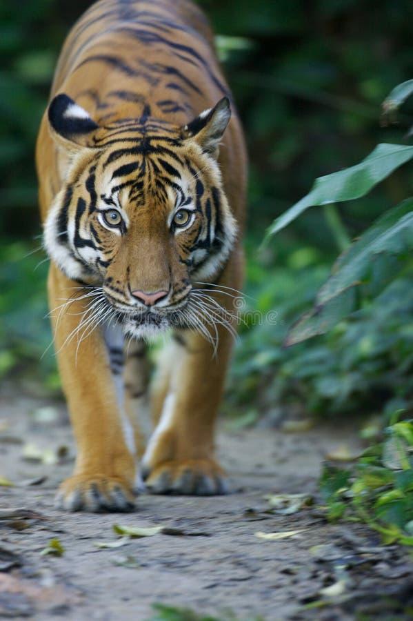 tygrys malezyjski obrazy royalty free