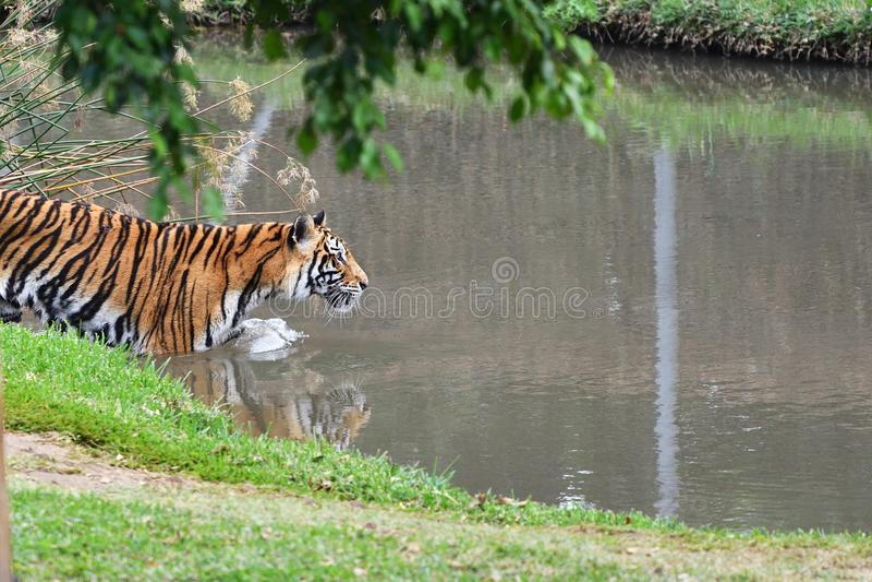 Tygrys na polowaniu obraz royalty free