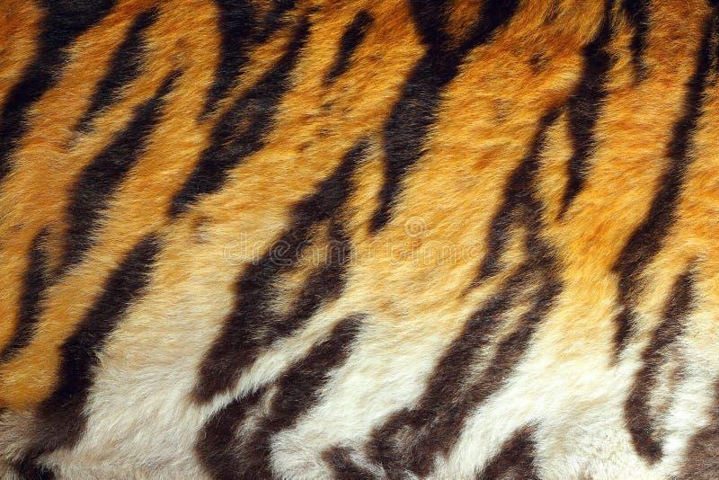 Tygrys Obrzuca zdjęcia royalty free