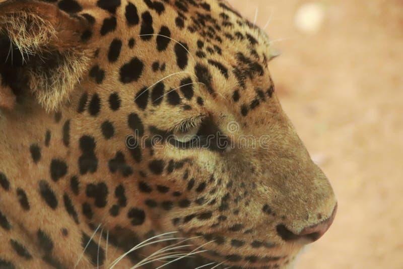Tygrys od zakończenia w w górę zoo zdjęcie stock