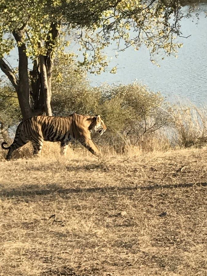 Tygrys przy Ranthambore fotografia royalty free