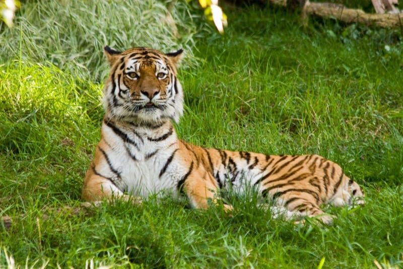tygrys siberian zdjęcia stock
