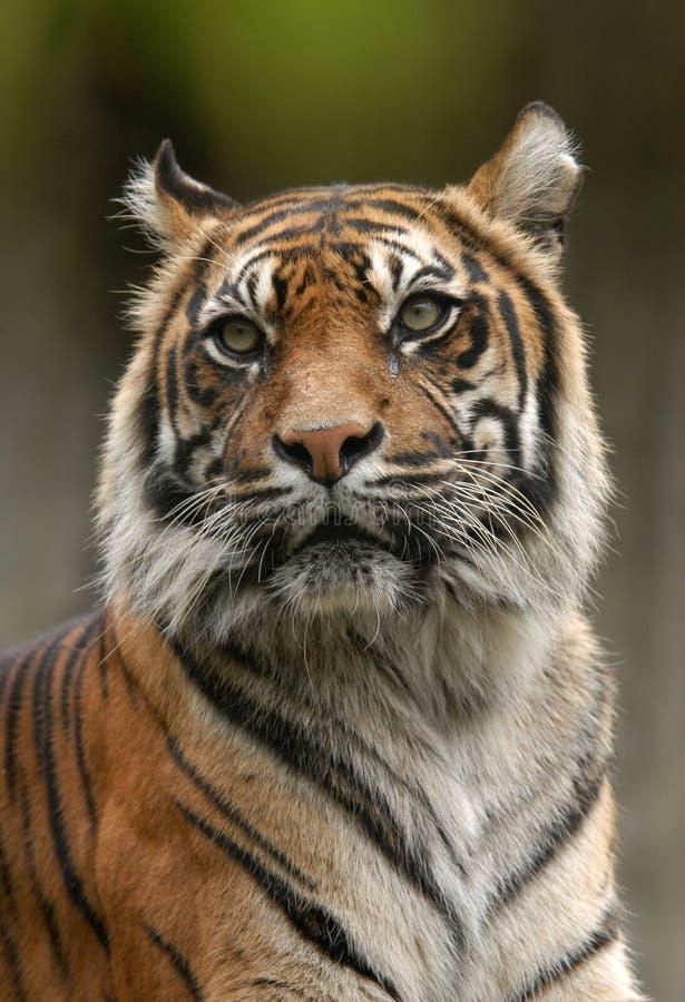 tygrys sumatryjskiej zdjęcie royalty free