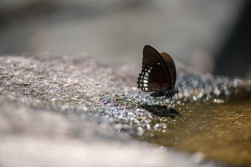 tygrys szklisty błękitnego motyla zdjęcie royalty free