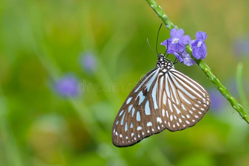 tygrys szklisty błękitnego motyla zdjęcie stock