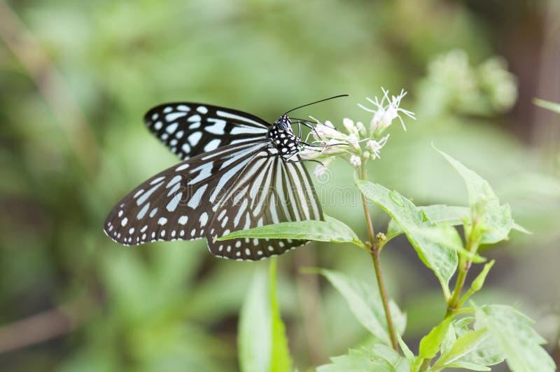tygrys szklisty błękitnego motyla zdjęcia royalty free